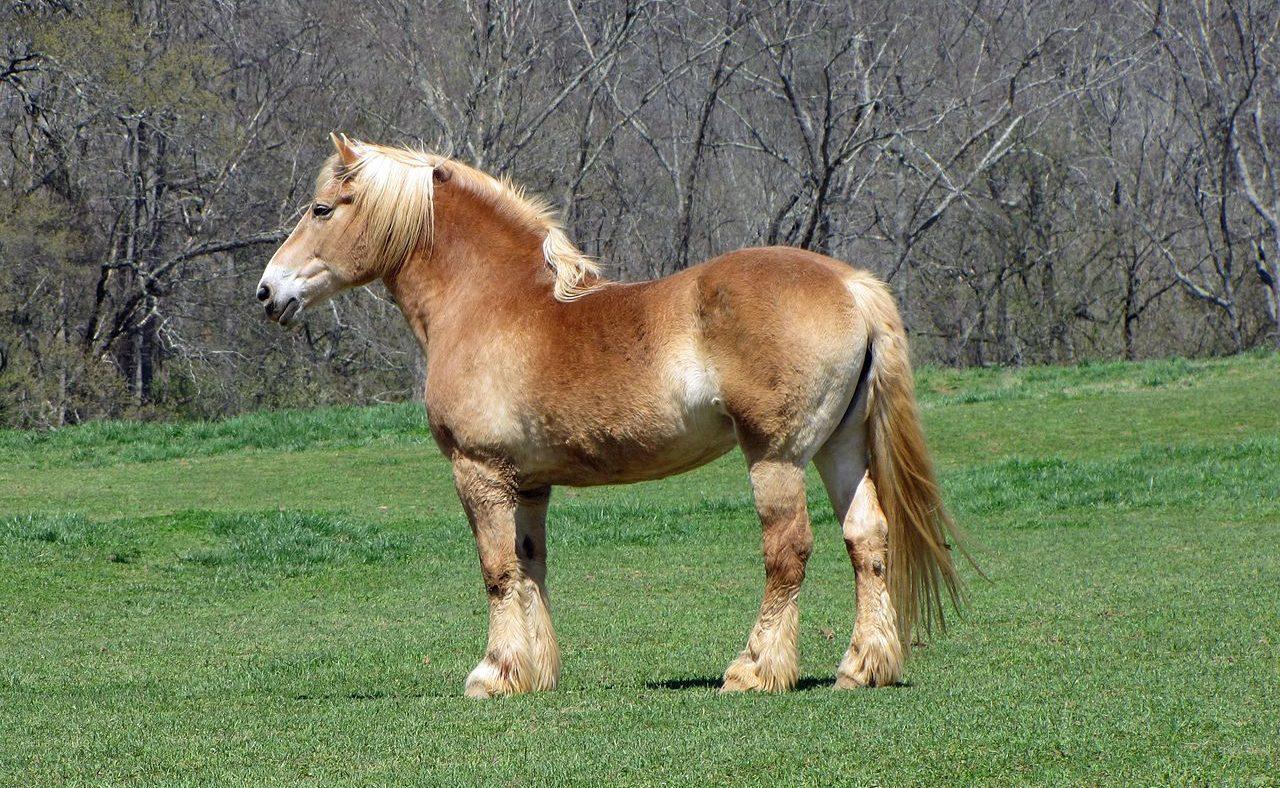 Cavalo de tração